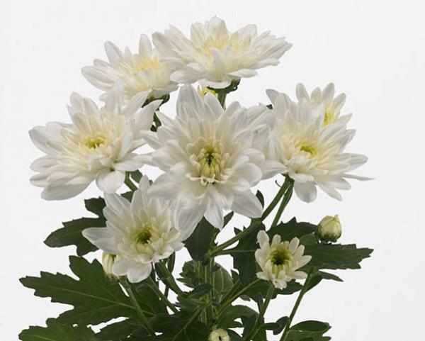 Кустовая хризантема