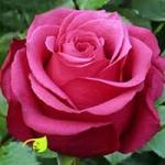 "Роза ""Черри О"""