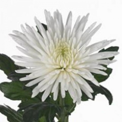Хризантема одноцветковая